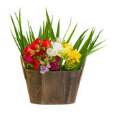 Bouquet of freesias flowers in wooden pot — Stock Photo