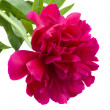 Peony flower — Stock Photo #26141735
