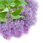 Bush with with lilac flowers — Stock Photo