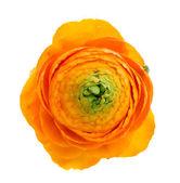 One orange ranunculus — Stock Photo