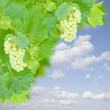 Stock Photo: White grapes and leaves in garden