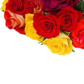 Hranice čerstvé zahradní růže — Stock fotografie