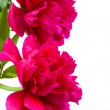 Border of peony flowers close up — Stockfoto