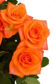 Orange rosor på nära håll — Stockfoto