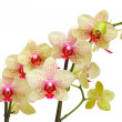 Yellow and red orchid branch — Stock Photo
