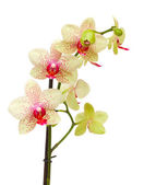 Yellow and red orchid flowers branch — Stock Photo