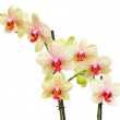 Fresh yellow and red orchid branch — Stock Photo