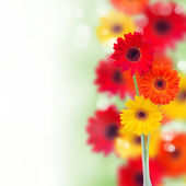 Border of garden herbera flowers — Stock Photo