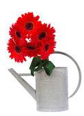 Flores gerbera vermelha — Foto Stock