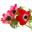 Posy of anemone flowers — Stock Photo