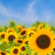 Bight sunflowers field — Stock Photo