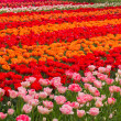 Holland tulips field — Stock Photo