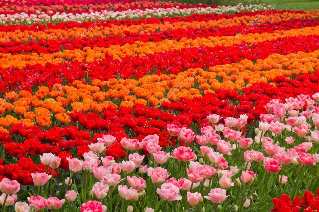 Campo di tulipani olanda foto stock neirfys 32133607 for Tulipani arancioni