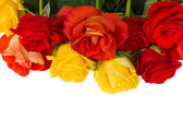 Garden roses border — Stock Photo