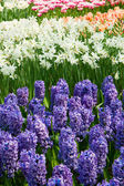 Hyacinth flowerbeds — Stock Photo