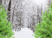 Snowed forest with evergreen trees — Stock Photo