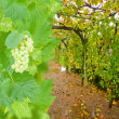 Wine yard allwy with grape — Stock Photo #34107899