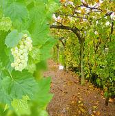 Wine yard allwy with grape — Stock Photo