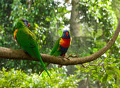 Two colourful lori parrots on the perch — Stock Photo