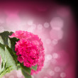 Pink hortensia flowers close up — Stock Photo #34480953