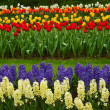Stripes of dutch tulips and hyacinth — Stock Photo