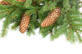 Pine Branch With Cones — 图库照片