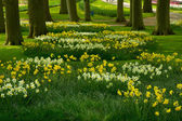 Grass lawn with daffodils in spring garden — Stock Photo