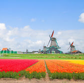 Dutch windmills over tulip rows — Stock Photo
