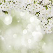 Blossoming Plum Flowers in garden — Stock Photo