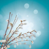 Willow twigs with catkins on blue — Foto Stock