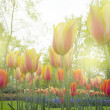 Growing tulips close up — Stock Photo