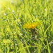 Stock Photo: Spring dandelion