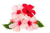 Bunch of hibiscus flowers — Stock Photo