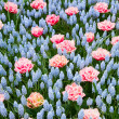 Blue and pink spring flowerbed — Stock Photo