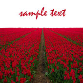 Dutch red tulip fields — Stockfoto