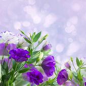 Eustoma flowers on blue — Photo
