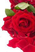 Fresh red rose with petals border — Stock Photo