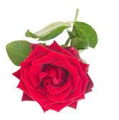 один малиновый красная роза — Стоковое фото