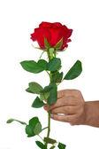 Hand holding one rose — Stock Photo