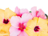 Close up border of colorful hibiscus flowers — Stock Photo