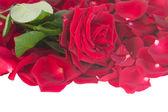 Fresh crimson red rose with petals border — Stock Photo