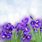 Blue irise flowers close up — Stock Photo