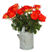 Orange roses in watering can — Stock Photo