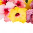Border of colorful hibiscus flowers — Stock Photo