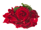 Fresh red rose with petals — Stock fotografie