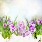 Spring crocuses under snow — Stock Photo