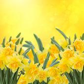 Spring narcissus garten — Stockfoto