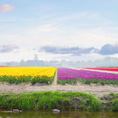 Dutch yellow and violet tulip fields in sunny day — Stock Photo