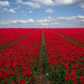 Dutch red tulip fields under blue sky — Stock Photo