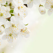 Plum Flowers in green garden close up — Stock Photo